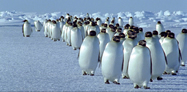 Ndryshimet klimaterike, pinguinet ne rrezik