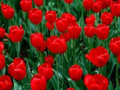 Per shen Valentin? Shume tulipane per te then 'Te dua'
